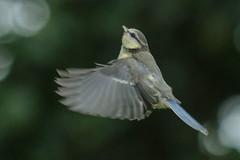 Up (jillyspoon) Tags: bird birdwatcher birdwatching birdphotography birdspotting tit bluetit gardenbird flying inflight bokeh canon70d canon70200 canon70200mm 70200 harrogate wings feathers b