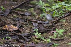 Chestnut-sided Warbler (igerarddejong) Tags: bird setophagapensylvanica chestnutsidedwarbler laselva vogel costarica