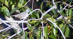 pigeons doves-09 (Captain Hadoc) Tags: bird birds australia wild wildlife farm pigeonsdoves pigeons