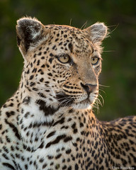 Leopard Portrait (Theo Busschau) Tags: leopard bigfive bigcats bigcat wildlifephotography wildlife wilderness nature naturephotography ngc southafrica safari canon closeup africa africanwildlife animal