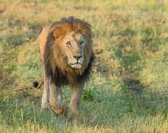 Male Lion - Leo panthera (rosebudl1959) Tags: 2018 kenya masaimara zebraplains lolparpit