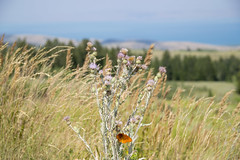 Late Summer Overlooking the Lake (aaronrhawkins) Tags: butterfly overlook mountain flower grass wind blow bearlake utah idaho vacation summer colorful color orange nature natural aaronhawkins
