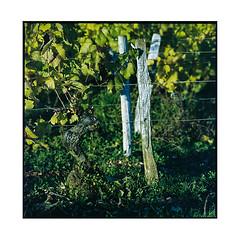 vineyards 1 • burgundy, france • 2017 (lem's) Tags: vineyards vignoble wine grapes vin raisin bougogne burgundy zenza bronica