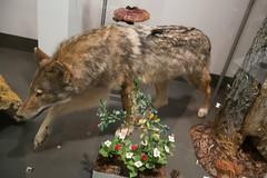 Timber wolf (quinet) Tags: 2017 canada ontario präparatoren rom royalontariomuseum toronto empaillage museum musée naturalhistory taxidermy 124