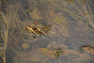 Pool Frog (Pelophylax lessonae) southern clade