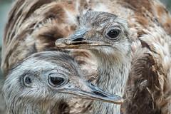 Nandu (Roman Achrainer) Tags: nandu laufvogel vogel federn zoo budapest tiere natur achrainer