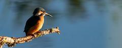 The Early Bird (Steve (Hooky) Waddingham) Tags: bird british blue countryside nature wild wildlife fish