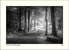 Coedydd Beddgelert (Chalky666) Tags: tree trees wood woodland forest gwynedd wales landscape infrared mono art