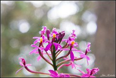 Epidendrum sp (jota_estrada) Tags: orquidea orchid orchidaceae flores flowers purple bokeh epidendum tropical planta plants flora neotropical