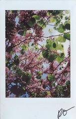 "Fujitivas_67 "" At the door of my house, I dream of Japanese "" (Robert Olaf) Tags: color fuji fujifilm fujitiva fujitivas fujitivasfujifilm instafuji instaphoto polaroid retrato japan japanese japón cerezo tree pink green blue door árbol light fujifilminstax instacamera home dream haiku haikus matsuobashō"