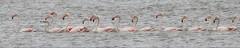 Flamingo - (Phoenicopterus roseus) - Greater flamingo (carloscmdm) Tags: parque tejo selvagem natureza flamingo phoenicopterus roseus greater