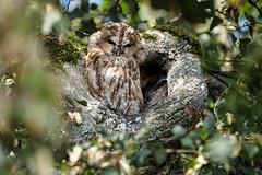 Waldkauz / tawny owl / Strix aluco (Bernd Götz) Tags: waldkauz owl münchen tawnyowl sigmamc11 sonya6500 sigma150600563dgoshsm strixaluco nymphenburgerparkmünchen