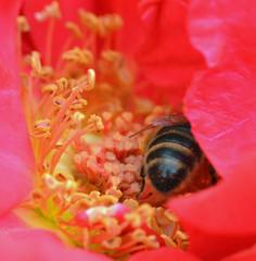 "Honey bee on Rose ""national trust"" (conall..) Tags: rose nationaltrust closeup raynox dcr250 macro botanic park belfast southbelfast northernireland bee honeybee apis mellifera apismellifera pollination flower"