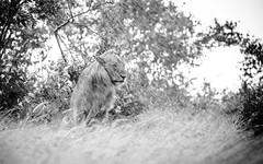 I'm a lion in the rain.... (ラルフ - Ralf RKLFoto) Tags: kenia kenya masaimara narok natur safari tiere animals wildlife lion rain