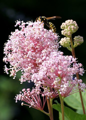Säckelblume / Californian lilac (Ceanothus x pallidus) (HEN-Magonza) Tags: botanischergartenmainz mainzbotanicalgardens rheinlandpfalz rhinelandpalatinate deutschland germany flora unidentifiedplant