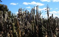 Cactus Country, Strathmerton 1404 (Lesley A Butler) Tags: victoria strathmerton cactuscountry cacti australia