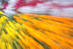 Creative blur: garden of flowers transformed into radiating lines and zones of colour (Jon Dev) Tags: icm intentionalcameramovement zooming