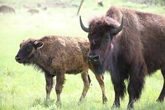 Small giant (Sven Bonorden) Tags: buffalo bison büffel custerstatepark blackhills southdakota kalb grass gras braun brown calf