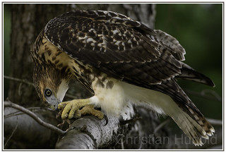 red-tailed hawk with brown rat