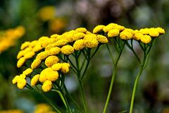 """""""Moquette"""" jaune (Diegojack) Tags: vaud suisse yverdon jaune champittet floral jardin centre nature d500 moquette nikonpassion"""