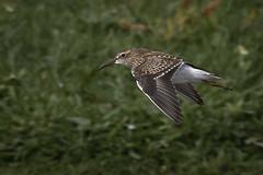 Pectoral Sandpiper (Steve D'Cruze) Tags: pectoral sandpiper wader bird lunt meadows nikon d500 sigma