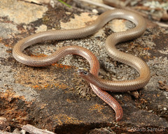 Pink-tailed worm-lizard (Aprasia parapulchella) (Akash Samuel Melbourne) Tags: pink tailed worm lizard aprasia parapulchella australia victoria endangered threatened pygopod reptile animal animals rare elusive wildlife akash samuel herpetology