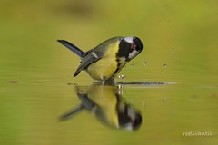 Love singing and bathing at the same time (roelivtil) Tags: 7dwf bathing bird crazyfun crazytuesdaytheme greattit koolmeesje parusmajor vogel weerspiegeling reflection