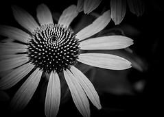 Une Tête Couronnée (Solène.CB) Tags: fleur bw nb tête couronnée solènecb canoneos70d london londres petals pétales chelseaphysicgarden apothecariesgarden