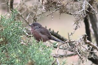 Female Dartford Warbler