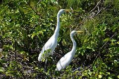 Great Egrets (arielfischer) Tags: greategret ardeaalba silberreiher grandeaigrette garcetagrande большаябелаяцапля לבניתגדולה