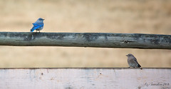 Family Visit (Blazingstar) Tags: bluebird mountain fence studio 26 friday