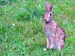 DSC_0027 (RachidH) Tags: rabbit wildrabbit lapin lapinsauvage baby kit easterncottontail sylvilagusfloridanus lapinàqueueblanche lapindefloride sparta newjersey nj rachidh nature