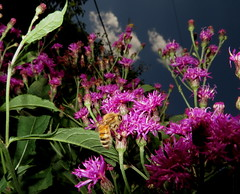 Honey Bee, Clouds And Tall Ironweed Flowers IMG_8915 (Ted_Roger_Karson) Tags: northern illinois bee honey flying hand held camera sloitary macro flowers super bumble flower thisisexcellent lens flowerhead yard friends twop bug hd fuji eyes m150 macroscopic pollen animal outdoor insect pollinator plant depth field backyard animals garden butterfly bees canonsx280hs