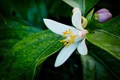 lemon flower (Nightgoose) Tags: flor flower limão limãosiciliano citrus captureonepro11 alienskinexposurex3