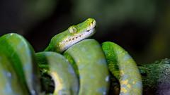 Green all the way! (.: mike | MKvip Beauty :.) Tags: sony⍺7markiii sony⍺7iii sonyilce7m3 sonyalpha7m3 sonyalpha sony alpha emount ⍺7iii ilce7m3 ibis sigmaex150mmƒ28apomacro sigma150mmƒ28macro 150mm ƒ28 sigma metabonesefemounttsmart metabones canonefe eftoemount efnex primelens prime manualexposure manualfocusing handheld macro makro closeup excelvanph800b800ledlight ledlight shallowdof bokeh bokehlicious beyondbokeh extremebokeh smoothbokeh animal reptile snake python serpentes moreliaviridis greentreepython schlange grünerbaumpython reptiliumlandau landau germany europe mth mkvip sigmaex150mmƒ28apomacroexdgoshsm metabonesefemounttsmartadaptermarkv ngc npc