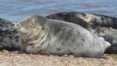Sleepy Seal (Deb Simpkins) Tags: grey seal nature wildlife animal beach sea shore seaside sand stones sleeping sleepy sunbathing face eye whiskers fur body asleep mouth summer 2018 norfolk horseygap httpfriendsofhorseysealscouk sunny