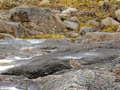(Dunnock_D) Tags: uk unitedkingdom britain scotland argyll kintyre bird rockpipit pipit rock rocks seaweed