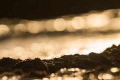 The Saint sunset with Waders... (_alcedo_) Tags: 4eagles 4ereliai alcedowildlife birdofprey birdidlithuania2018 birds borisbelchev customtours guidedtours iceland landscape lithuania mrjangear nature nemunasdelta nemunodeltarp raptor animals biodiversity birdingpallithuania birdwatchinglithuania breeder europe flight floatinghidephotography gamtosgidas hidephotography migrant paukščiųstebėjimas spring wintering workshop wwwalcedowildlifecom