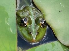 Peekaboo (libra1054) Tags: frösche frogs rã ranas rane grenouille amphibians anfibios amphibiens anfibi amphibien closeup nature green grün verde vert