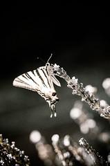 Haute Provence, papillon, HDR, 17 (Patrick.Raymond (4M views)) Tags: papillon hdr insecte abeille nikon 150mm macro lavande fleur isecte