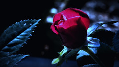 Bathed in Moonlight (Bob's Digital Eye) Tags: aug2018 bobsdigitaleye bokeh canon canonefs55250mmf456isstm closeup dark depthoffield flora flower glow light macro red rose rosebud softfocus t3i flickr flicker