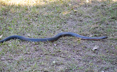 Red-bellied Black Snake (petefeats) Tags: australia cooroy fearnleybirdhide lakemacdonald nature pseudechisporphyriacus queensland redbelliedblacksnake reptiles snakes