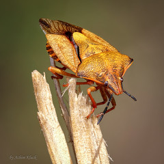 Nördliche Fruchtwanze (Carpocoris fuscispinus) (AchimOWL) Tags: insekt insect makro macro natur nature tier tiere nahaufnahme deutschland outdoor fauna gh5 panasonic dcgh5 wildlife stack stacking postfocus senne wanze nördlichefruchtwanze fruchtwanze baumwanze pentatomidae