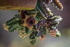 Hanging Under The Pot (ACEZandEIGHTZ) Tags: nikon d3200 lifesaver cactus flower pot growing zebrina huernia bokeh saariysqualitypictures