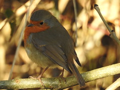 Robin (blue33hibiscus) Tags: robin langfordlakes naturereserve wiltshire