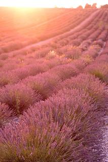 wonderful sunset on lavender's field