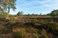Beehives on the heather (Leo Kramp) Tags: 2018 veluwe wandelen heide natuurfotografie heather bloemen gortel flickr emst gelderland nederland nl leo kramp leokramp wwwleokrampfotografienl leokrampfotografie