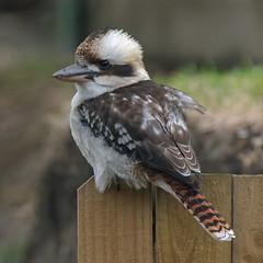 Fence sitter (OzzRod) Tags: pentax k3 hdpentaxdfa150450mmf4556 birds kookaburra laughingkookaburra fence newcastle australia