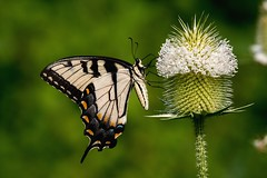 2018  Eastern Tiger Swallowtail (Pterourus glaucus) 2 (Flickr Front Page #2) (DrLensCap) Tags: county railroad chicago abandoned forest butterfly bug way insect spur illinois woods pacific district tiger union cook trails right il trail rails to eastern preserve weber preserves swallowtail glaucus pterourus labagh robert kramer aoi bestcapturesaoi elitegalleryaoi coth5 ngc npc