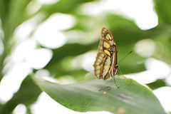 Butterfly Portrait Front (Tekelua) Tags: butterfly schmetterling elbauenpark